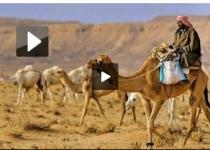 عجیب ترین شیوه قاچاق شتر به عربستان +فیلم