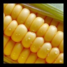 پیش بینی برداشت ۶۹ هزار تنی ذرت از مزارع نهاوند