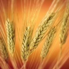 خرید 60 هزار تن گندم از کشاورزان شهرستان رزن