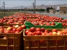 گوجهفرنگی اسدآباد در نبود صنایع تبدیلی جان میدهد