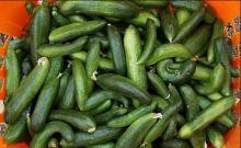 امسال 24 هزار تن خیار از مزارع نهاوند برداشت میشود