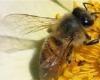 اجرای طرح سرشماری زنبور عسل در همدان