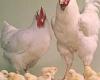 استان همدان در رتبه یازدهم تولید مرغ گوشتی در کشور