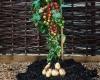 گیاهی که دو محصول تولید میکند