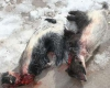 شکارچی گورکن ها در کبودرآهنگ دستگیرشد