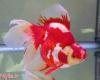 ماهی های قرمز سفره هفت سین را درطبیعت رها نکنیم