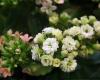 گلهای آپارتمانی