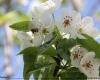 شکوفه های سیب در فصل بهار