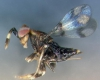 رهاسازی زنبورهای تریکوگراما در همدان برای کنترل آفات