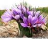 دوره های آموزشی کشت زعفران و پرورش توت فرنگی ویژه بانوان در بهار