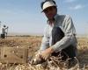 کاهش 50 درصدی کاشت سیردرتویسرکان/چینی هایی که ازصادارات سیر نمی شوند