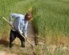 نارضایتی کشاورزان از عملکرد بیمه در پرداخت غرامت ها
