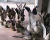 کشف ۲۲ پرنده تاکسیدرمی شده در تویسرکان
