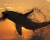 تصاویر زیبای کوسه ی سفید  هنگام طلوع خورشید